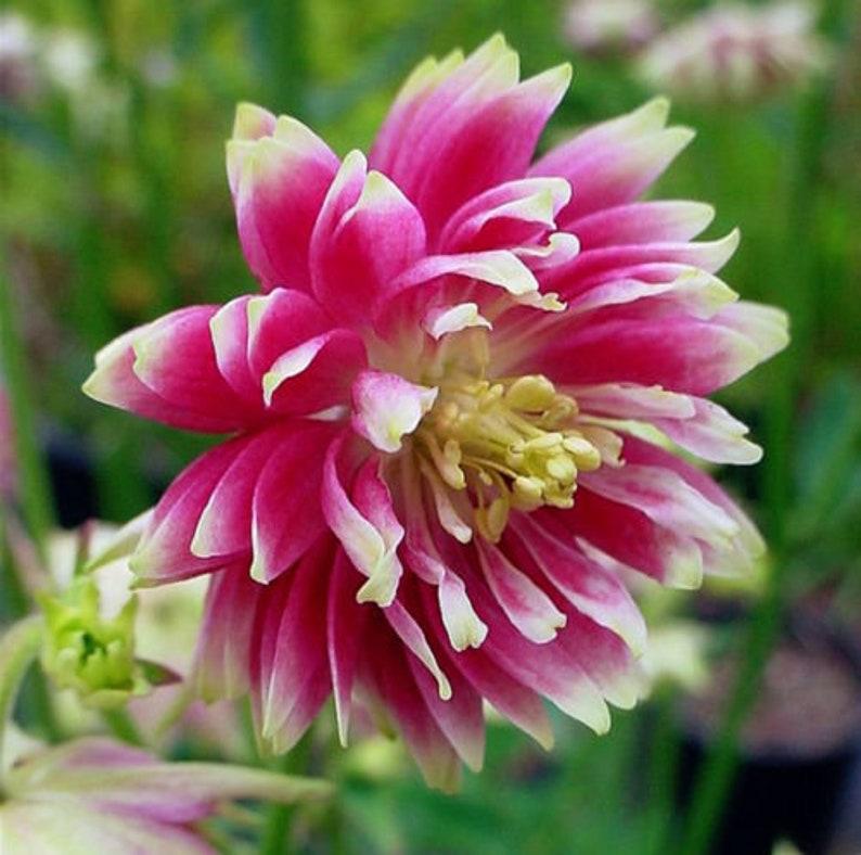 Barlow Mix Aquilegia Flower Seeds 25 Perennial
