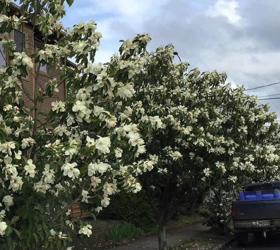 Shrub Evergreen CombSH M41 5 Michelia macclurei seeds Very Fragrant