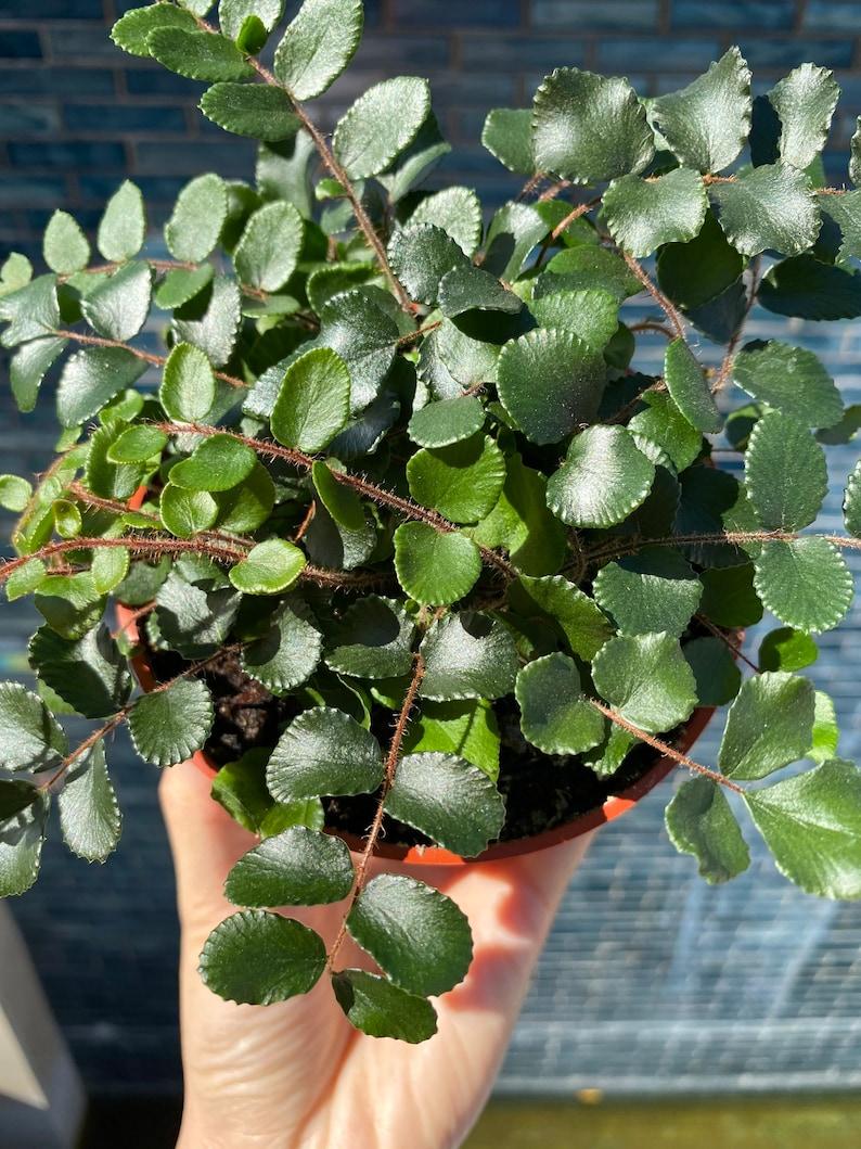 Easy plant 4\u201d Button Fern Indoor House Plant Low Light House plant Low Light House Plant| Fern Houseplant 4 Pot Live House Plant