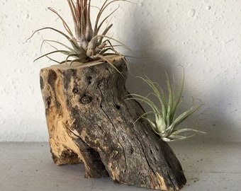 Medium wedge shaped cholla skeleton wood with 2 tillandsia air plants. Handmade and unique. Free Shipping