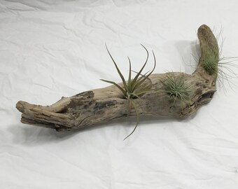 Large unique piece of driftwood with 3 air plants added from Joshua Tree California. Free shipping in the USA
