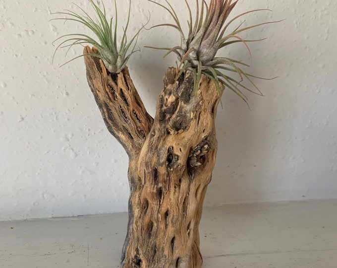Medium cholla skeleton wood with arm and 2 tillandsia air plants. Handmade and unique. Free Shipping