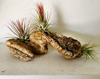 Drift wood from Joshua Tree California with 3 tillandsia air plants added. Cool tree root dry with air plants. Free shipping