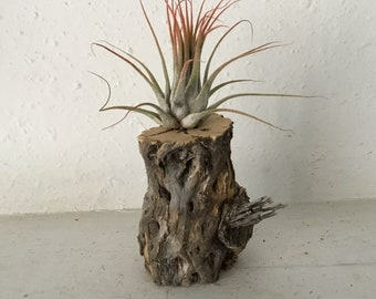 Unique cholla skeleton wood table decor with tillandsia air plants. Handmade and unique. Free Shipping