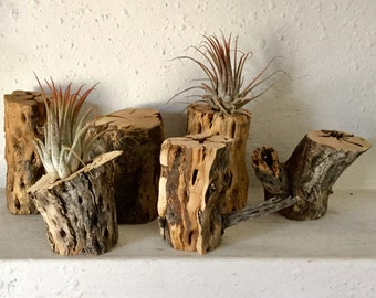Wholesale Lot of cholla skeleton wood perfect for aquariums and as stands for tillandsia air pant projects. Free shipping