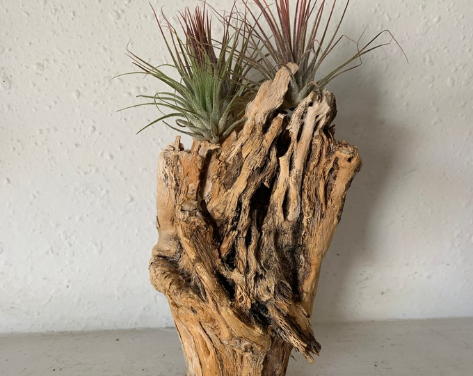 Beautiful cholla skeleton wood table decor with 2 tillandsia air plants. Handmade and unique. Free Shipping