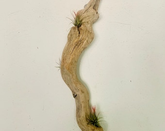 One of a kind driftwood with river rock tillandsia with air plants handmade. Free shipping in the USA