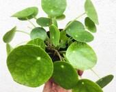 LIMITED Pilea Peperomioides Chinese Money Plant Pancake Plant, UFO Plant, Rare Plant, Houseplant, Live Plant, Pilea Peperomioides Plant