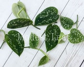Silver Pothos CUTTINGS Satin Pothos, Silk Pothos, Silver Philodendron Argyraeus Cuttings