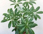 Schefflera Arboricola Dwarf Umbrella Tree, Beautiful Foliage House Live Plant Office Plant Indoor Plant, Money Tree, Apartment Decor