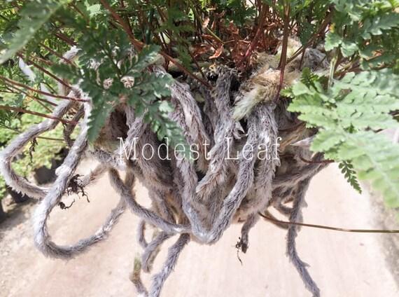 Rare Davallia Fejeensis Fern Rabbit's Foot Fern Plant Unique Plant on rabbit foot fern, goose foot house plant, elephant foot house plant, rabbit foot green,