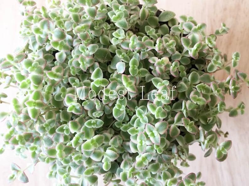 Sedum Little Missy Exotic Succulent Plant Sedum Little Missy Ground Cover Long Strand Succulent Ground Cover Succulent Rare Plant 4 in Pot