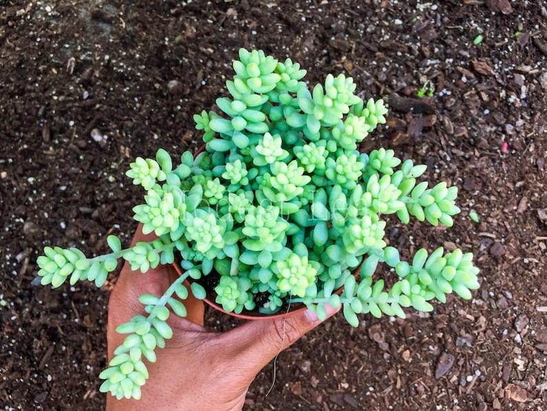 Sedum Burro\u2019s Tail Succulent Plant Cute Pot Donkey Tail Plant Succulents Donkey/'s Tail Plant Terrarium Hanging Plant Sedum Morganianum