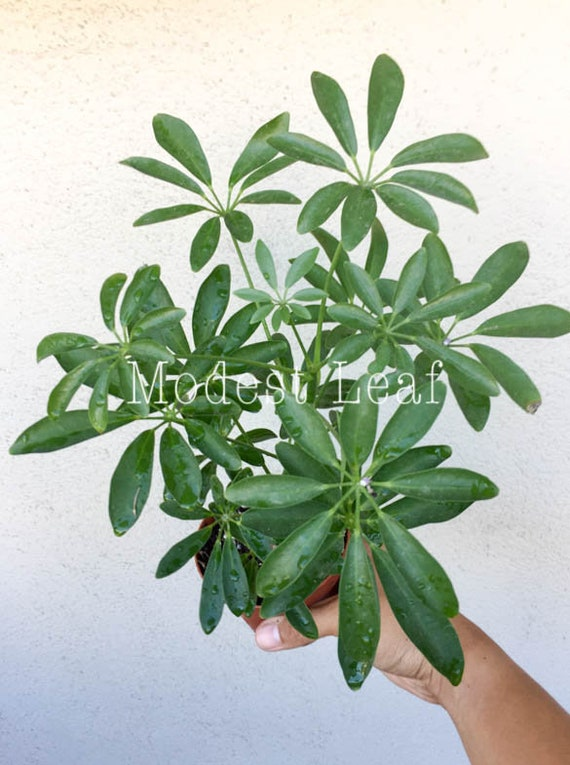 Schefflera Arboricola Dwarf Umbrella Tree Beautiful Foliage | Etsy on umbrella tree schefflera arboricola, umbrella tree care, umbrella tree fruit, umbrella tree plant propagation, umbrella tree bulbs, umbrella tree leaf, umbrella tree tree, umbrella tree fertilizer, umbrella tree potted plant, umbrella tree christmas, umbrella tree flower, umbrella tree tropical, umbrella tree bark, umbrella tree indoor, umbrella tree furniture, umbrella tree seeds, umbrella tree leaves, umbrella tree bonsai,