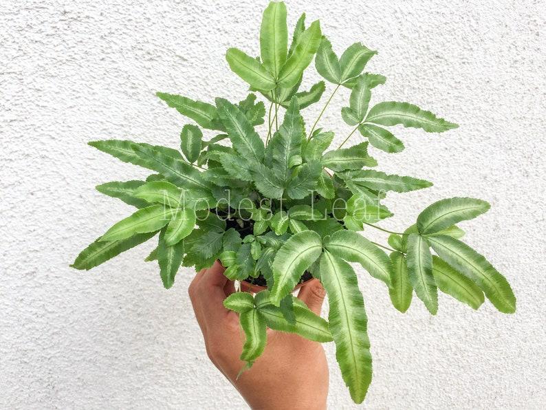 Silver Ribbon Fern Cretan Brake Fern Pteris Cretica Albolineata Live Plant Live House Plant Desk Plant Office Plant Fern Plant