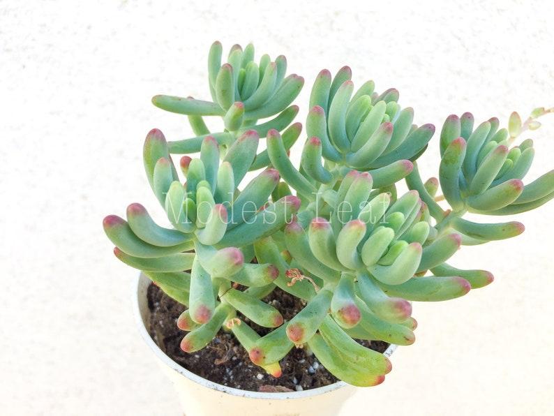 LIVE Jelly Bean Succulent Sedum Pachyphyllum CUTE Jelly Beans Plant Cute Pink Tip Succulent Chubby Succulent Planter Miniature Garden