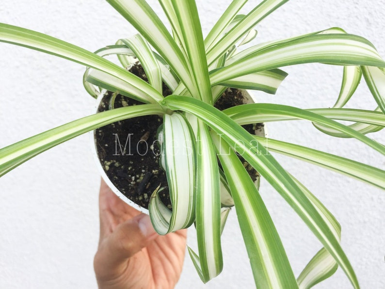 Curly Spider Air Purifying Plant Safe for Pets Easy Care   Etsy on spider plant care tips, spider plant light, spider eating food, tall spider plant, spider plant on a stick, spider infestation in home, spider plants outside, spider plant poisonous, spider plant varieties, spider plant roots, houseplants plant, rare spider plant, spider grass plant, spider plant care indoor, snake plant, spider plant toxic to dogs, spider flowering plant, spider plant in the wild, aloe vera plant,