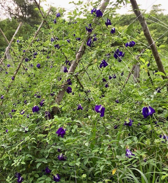 100 Single Layer Blue Butterfly Pea Seeds CLITORIA TERNATEA VINE FLOWER OGANIC