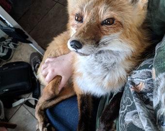 Taxidermy Fox Etsy