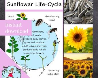 Sunflower Life-Cycle Poster (printable PDF)