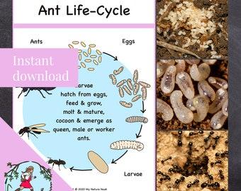 Ant Life Cycle - Nature Study Poster (printable PDF)