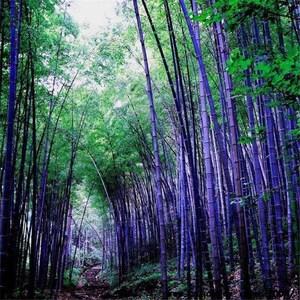Bamboo Plants Etsy