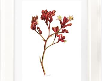 Red Kangaroo Paw watercolour print. Australian native flower watercolour pencil artwork. Unique gift. Aussie theme, country style decor,