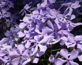 8 Plants Creeping Phlox Lavender Ground Cover - Perennial - Deer Proof - Fall Sale