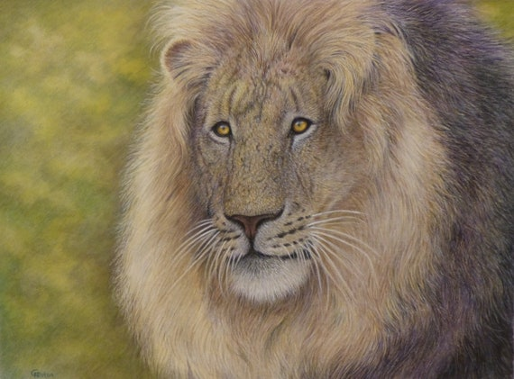 Original wildlife art, Lion by Gillian Heaton, detailed professional coloured pencil work, colored pencil painting