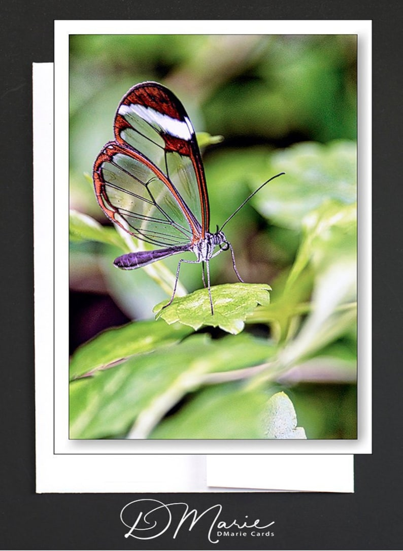 Butterfly Box of 8 Cards  GlassWing Butterfly  LaceWing image 0