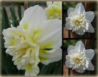 10x bunte blühende Primeln im Topf knospig//blühend Frühlingsdeko