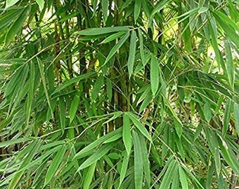 Bamboo seeds | Etsy