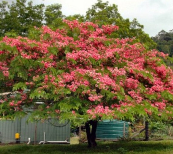 Cassia grandis PINK SHOWER TREE light pink flowers SEEDS!
