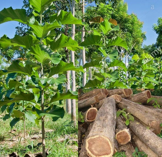 Indian Teak Wood Tree Seed Tectona Grandis Tree Lamiaceae Burmese Teak Central Province Teak Cp Teak Kerala Nilambur Teak 25 Seeds