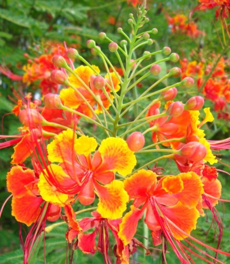 Caesalpinia pulcherrima 15 Seed PINK Poinciana Pride of Barbados