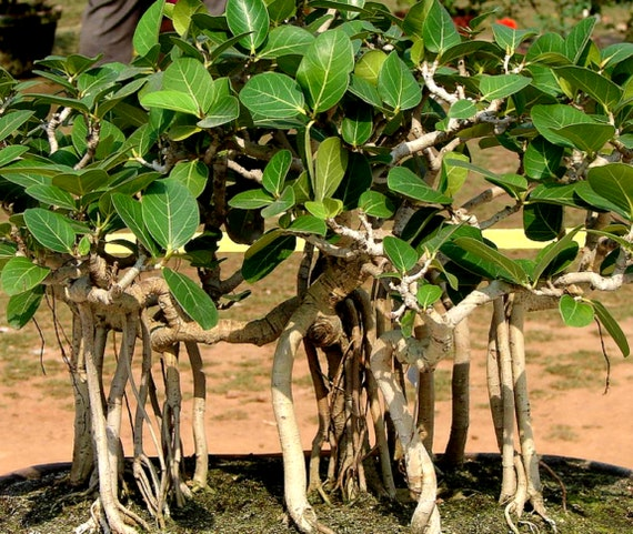 Banyan Tree Seed Ficus Benghalensis Tree Seed Excellent Etsy