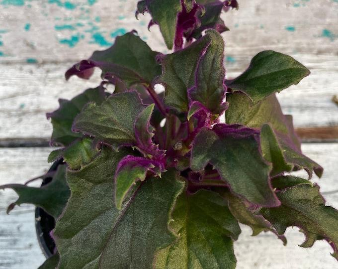 "Purple Passion Plant - 4"" pot - Gynura aurantiaca"