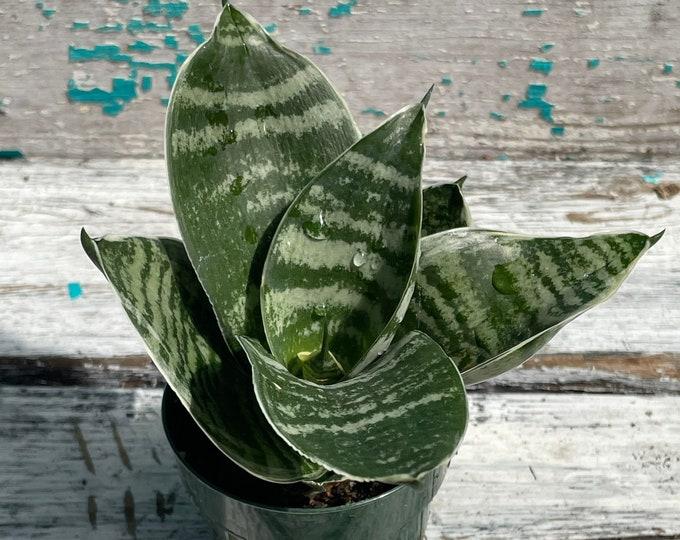 """Sansevieria 'Misty Star' - Bird's Nest Snake Plant - 3"""" Pot"""