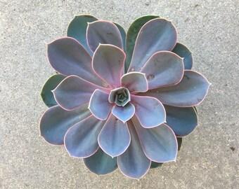 """3"""" and 4"""" Echeveria 'Perle Von Nurnberg' Succulent"""