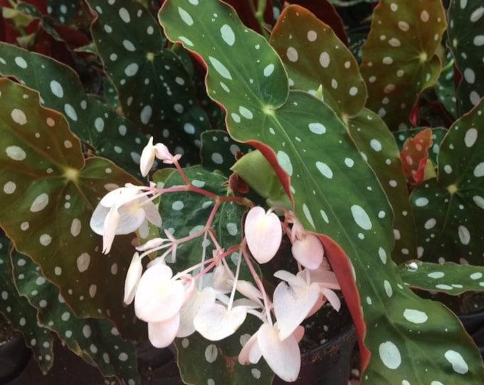 "Begonia Maculata 'Wightii' - 4"" pot - Limit 2"