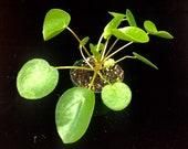 Pilea peperomioides, Chinese Money Plant, UFO Plant - 3 quot pot