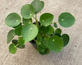 Pilea peperomioides, Chinese Money Plant, UFO Plant - 4 pot