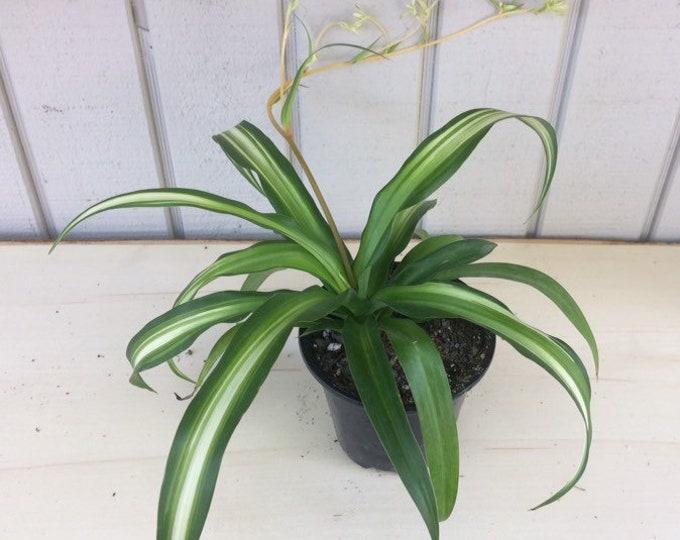 "Hawaiian Spider Plant - 4"" pot"