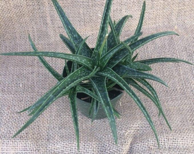 "Aloe Firebird - 3"" pot"