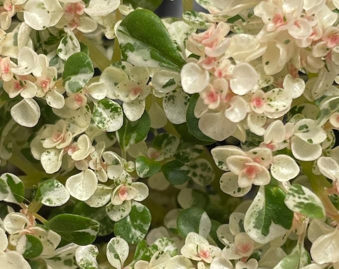 "Pilea Microphylla variegata - Variegated Artillery Fern - 3"" Pot"