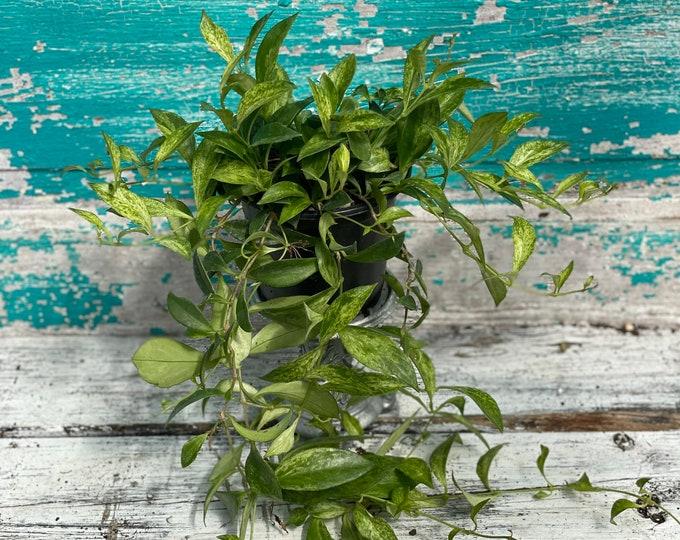 "Variegated Lipstick Plant - 4"" pot - Aeschynanthus radicans (variegated)"