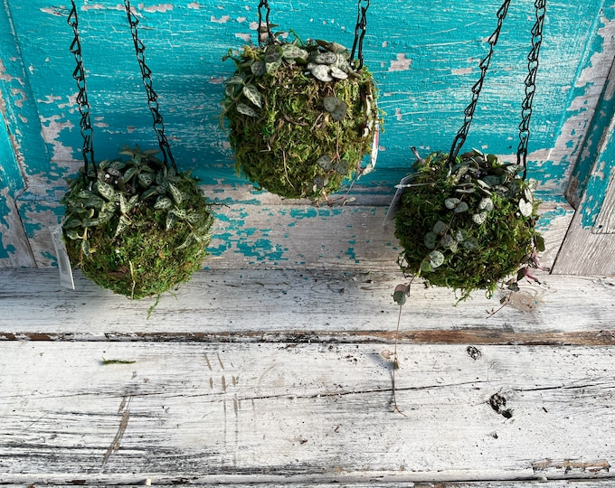 Kokedama Hanging Planter - your choice of String of Spades or String of Hearts (or a mix!), Moss Ball Planter