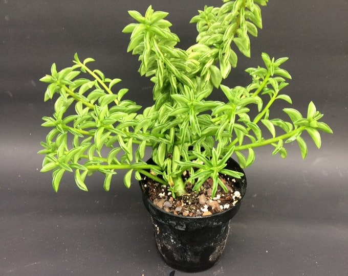 "Peperomia Axillaris - 3"" pot"