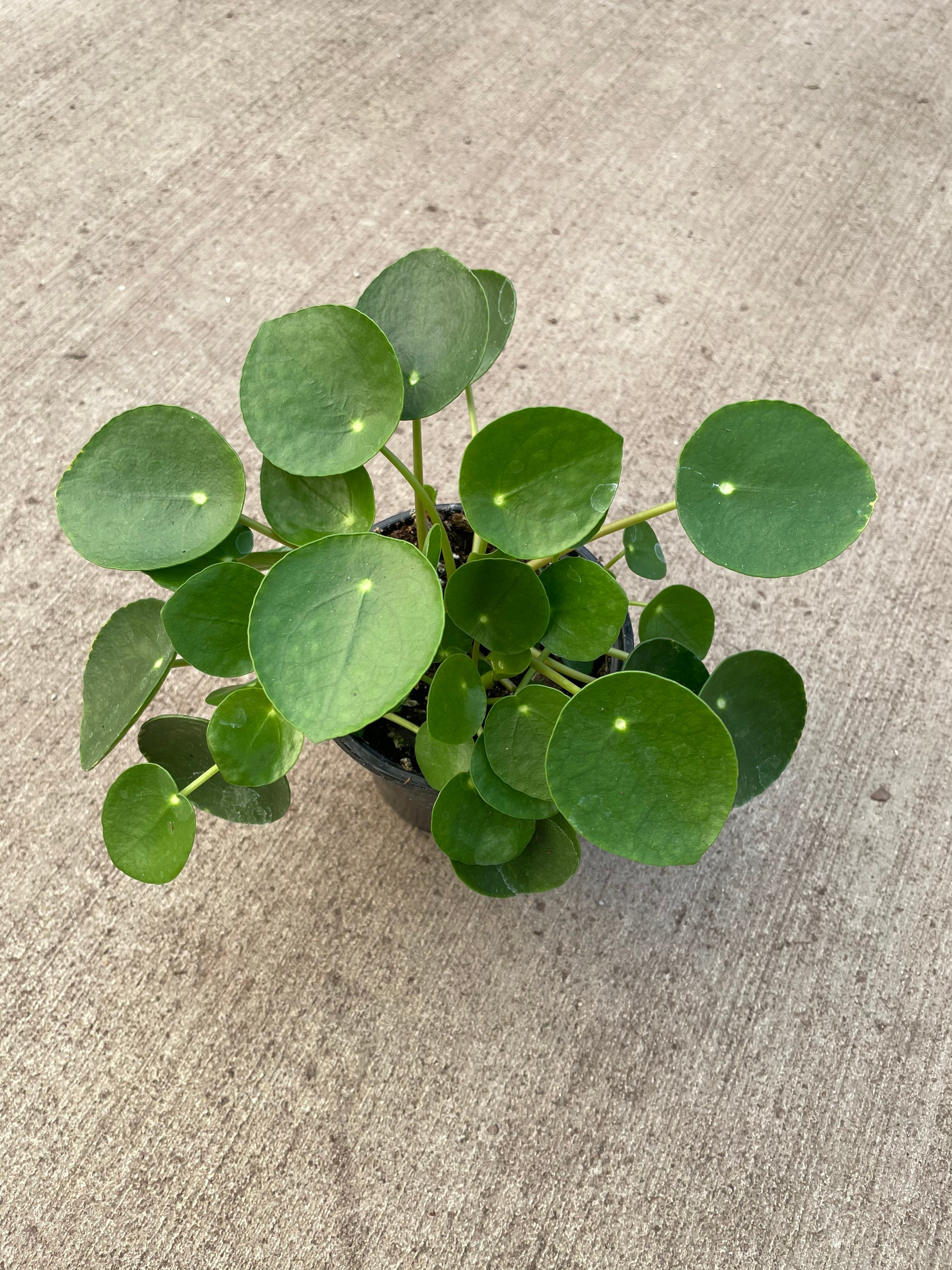 Chinese Money Plant selling actual plant in the pics Pilea peperomioides