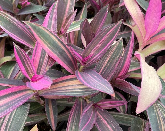 "Tradescantia pallida 'Pink Stripes' - 4"" Pot (variegated Purple Heart)"
